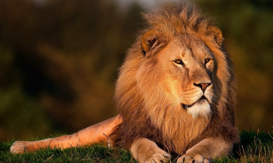 Les secrets du Lion